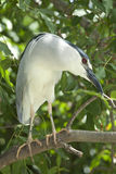 Black crowned night heron. Rare black crowned night heron standing in a tree from St Thomas USVI Stock Image