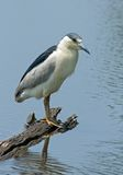 Black Crowned Night Heron. (Nycticorax nycticorax) perched on a log over blue water looking for fish stock image