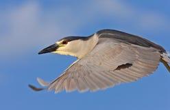 Free Black Crowned Night Heron Stock Photography - 15465232