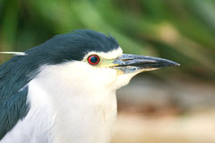 Black-crowned Night Heron. Portrait Stock Photo