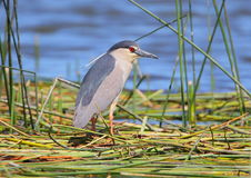 Free Black-crowned Night Heron Stock Images - 16414224