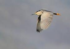 Black-crowned Night Heron Royalty Free Stock Image