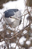 Black-crowned night heron. The Black-crowned Night Heron (Nycticorax nycticorax) is a medium-sized heron found throughout a large part of the world Stock Photo