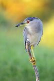 Black-crowned Night Heron Stock Image