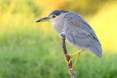 Free Black-crowned Night Heron Royalty Free Stock Photo - 18067505
