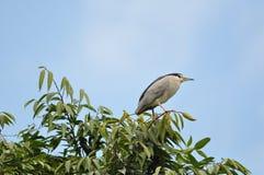 Black-crowned Night Heron. Adult Black-crowned Night Heron standing on the tree Stock Images