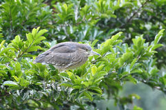 Black-crowned Night Heron. Immature Black-crowned Night Heron standing on the tree Royalty Free Stock Photography