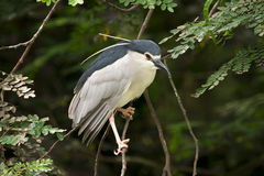 Black-crowned night heron Stock Photos