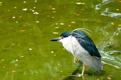 Black-crowned Night Heron. A black-crowned night heron hunting on water in the exhibit in Jurong Bird Park, Singapore Royalty Free Stock Image