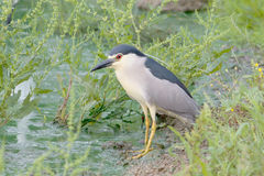 Black-Crowned Night-Heron Stock Photography