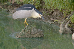 Black-Crowned Night-Heron Royalty Free Stock Photo