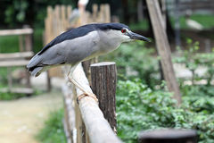 Black-crowned Night-heron Royalty Free Stock Photos