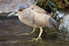 Black Crowned Night Heron Stock Photos