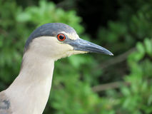 Black crowned night heron Royalty Free Stock Photos