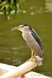 Black crowned night heron. A black-crowned night heron Bird Park Stock Image