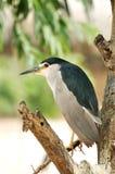 Black crowned night heron. A black-crowned night heron hunting on tree Bird Park Stock Photos