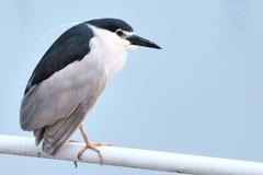 Black-crowned Night Heron Royalty Free Stock Images