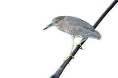 A black crowned night heron Stock Images