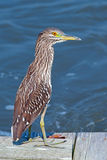 Black-crowned Night Heron. Juvenile Black-crowned Night Heron standing on on a dock Stock Images