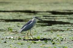 Black-crowned Night Heron. In danube delta Royalty Free Stock Images