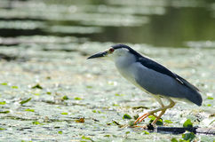 Black-crowned Night Heron. In danube delta Royalty Free Stock Photography