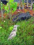 Black-crowned Night Heron Stock Photography