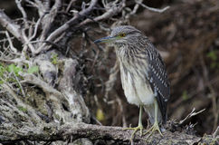 Black-crowned night-heron. (nycticorax nycticorax Stock Image