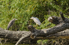 Black-crowned night-heron. (nycticorax nycticorax Royalty Free Stock Images