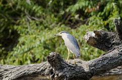 Black-crowned night-heron. (nycticorax nycticorax Stock Photography