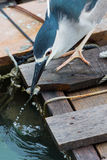 Black-crowned night heron. Catching fish Royalty Free Stock Photos