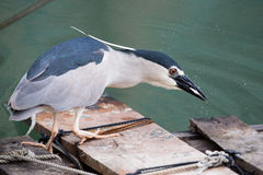 Black-crowned night heron. Catching fish stock images
