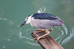 Black-crowned night heron. Catching fish Royalty Free Stock Photo