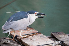 Black-crowned night heron. Catching fish Royalty Free Stock Image