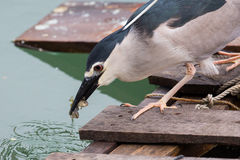 Black-crowned night heron. Catching fish Stock Image