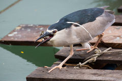 Black-crowned night heron. Catching fish Royalty Free Stock Photography