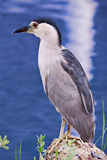 Black-crowned Night-Heron. (Nycticorax nycticorax).  Shot at Seabrook, Texas Royalty Free Stock Image