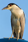 Black Crowned Night Heron stock photography