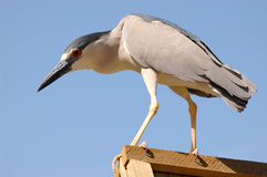 Black-crowned Night Heron. (Nycticorax nycticorax) standing on a wooden fence edge Royalty Free Stock Image