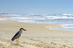 Free Black Crowned Night-heron Royalty Free Stock Image - 67100176