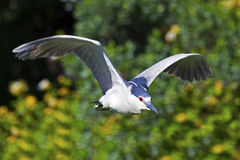 Free Black-crowned Night Heron Stock Photography - 73333692