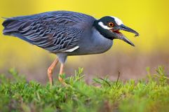 Black-crowned night heron. Side view of black-crowned night heron with open mouth Stock Images
