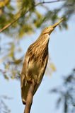 Black crowned night heron Stock Image