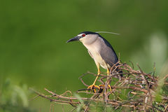 Black-crowned Night Heron. Adult black-crowned night heron perched on tree limb Royalty Free Stock Photo