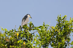 Black-crowned Night Heron Atop Tree against Blue Sky Royalty Free Stock Photography