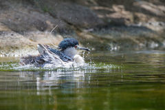 Black-crowned night heron. Bathing in water Stock Image
