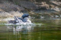 Black-crowned night heron Stock Image