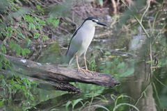 Black Crowned Night Heron. A beautiful & different colored bird .This photo has been taken in Titwala village, thane city India Stock Photo