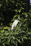 Black-crowned night heron bird Stock Photos