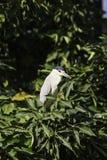 Black-crowned night heron bird Stock Photos