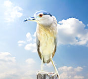 Black-crowned Night Heron Bird Stock Photo